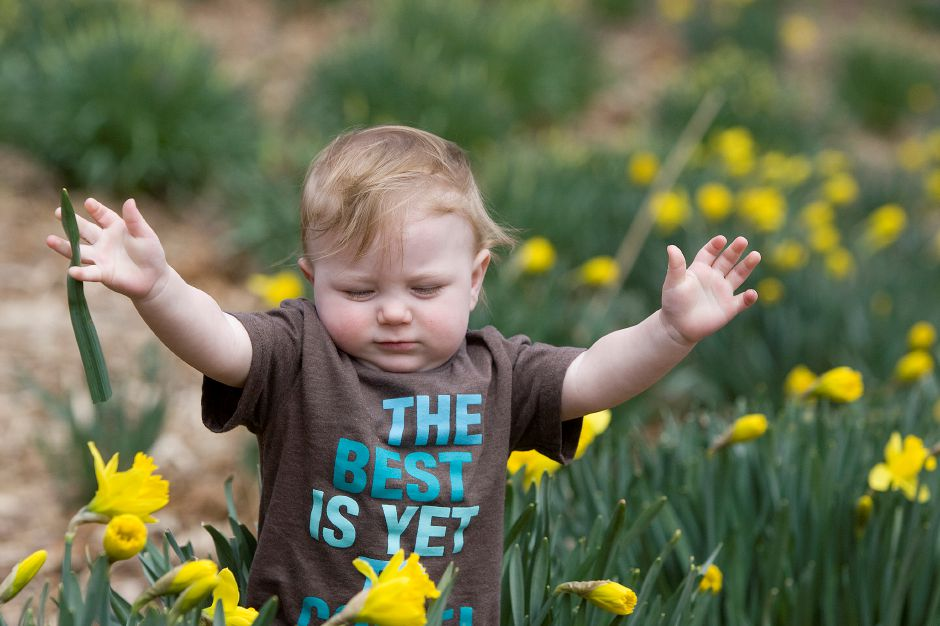 "Henry Curtis, 1, of Plainville, sports a t-shirt ""The Best Is Yet To Come"" while keeping balance in blooming daffodils at Hubbard Park in Meriden, Monday, April 13, 2015. The Daffodil Pre-Festival begins April 18th and 19th featuring food trucks, children"