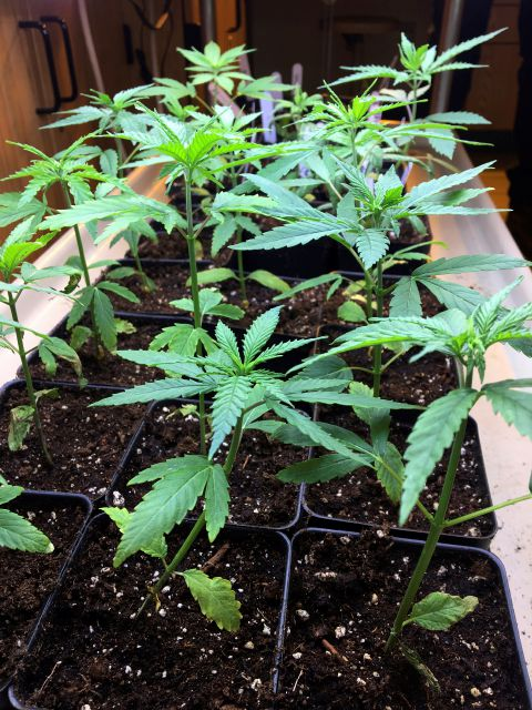 In this Feb. 14, 2019 photo, cannabis seedlings grow under lights as part of a research project by students in the new cannabis minor program at the State University of New York at Morrisville, N.Y. Even in states where recreational marijuana remains illegal, including New York, New Jersey and Connecticut, some colleges have launched cannabis studies programs in anticipation of legalization or to prepare students for jobs in other states. (AP Photo/Mary Esch)