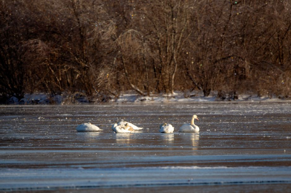 A group of swans rest on a frozen Hanover Pond in Meriden Tuesday Jan. 22, 2019. A small patch of open water allowed just enough space for the birds to bathe. | Richie Rathsack, Record-Journal