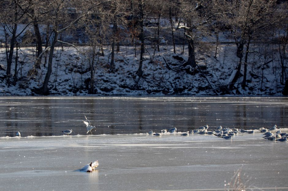 Gulls lay in a group on the ice at Hanover Pond in Meriden Jan. 22, 2019. | Richie Rathsack, Record-Journal