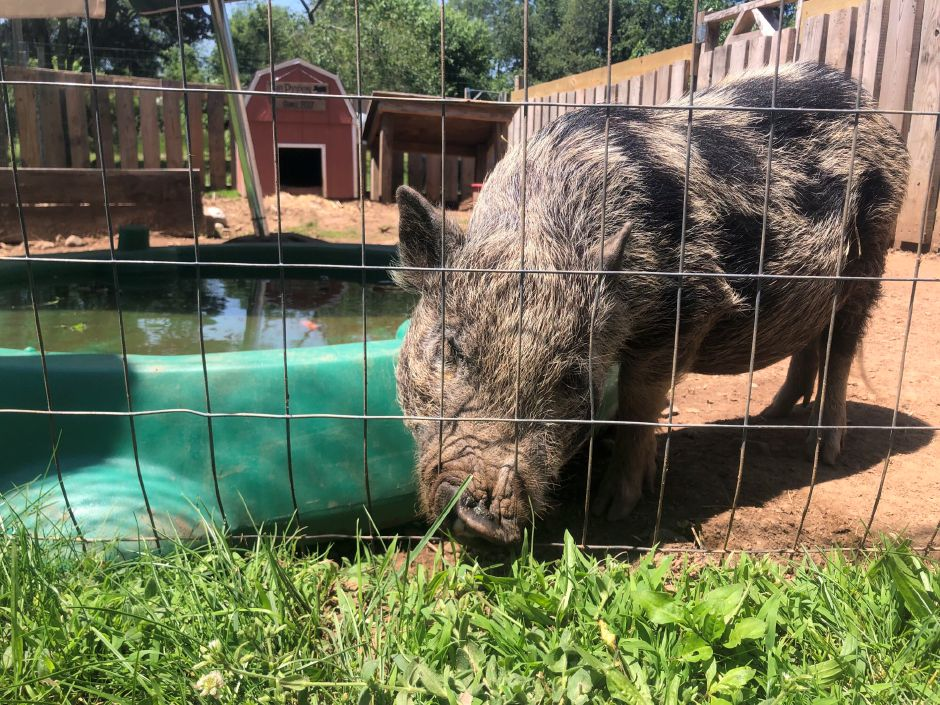 A pig in the farmyard at Farmer Joe's in Wallingford. |Kristen Dearborn, contributed