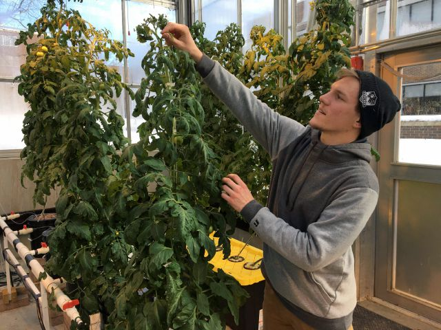 FILE PHOTO – In this Feb. 14, 2019 photo, Colton Welch, a junior at the State University of New York at Morrisville, N.Y., tends hydroponic tomato plants which will provide students with data applicable to cannabis cultivation. The college
