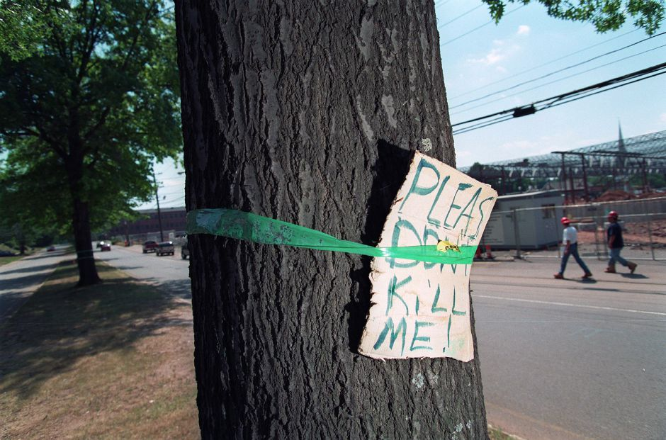 Marked with green tape, this oak tree is one of two on Parker Avenue, across from the Stop & Shop construction site, will be felled if the supermarket has its way, July 15, 1999. The tree warden, however, has forbidden the cutting down of these two trees.