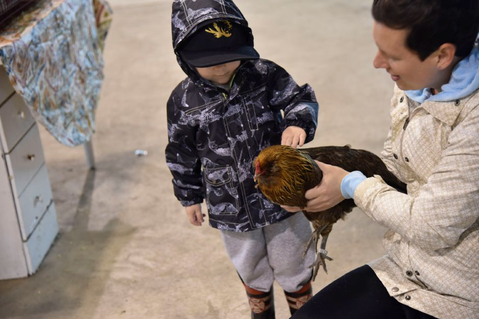 Gabe Mastroianni, 3, of Durham, pets a chicken at the Durham Fair on Friday, Sept. 28, 2018. | Bailey Wright, Record-Journal