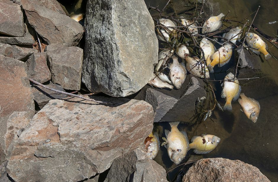 Some of the hundreds of dead fish in Broad Brook Reservoir along Reservoir Road in Cheshire are seen here on Tuesday.