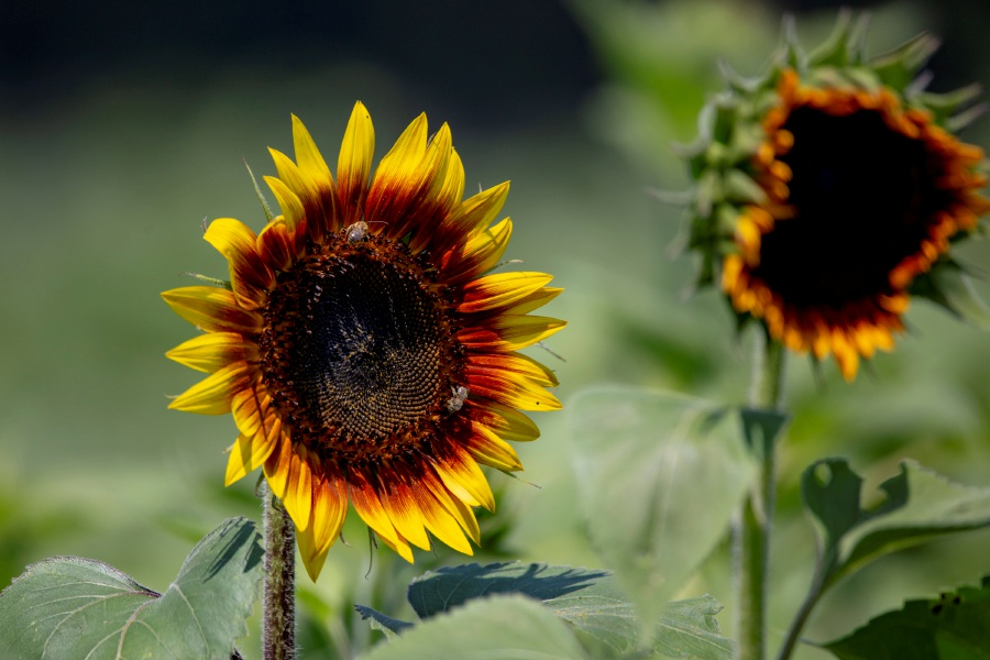 The sunflowers at Lyman Orchards.