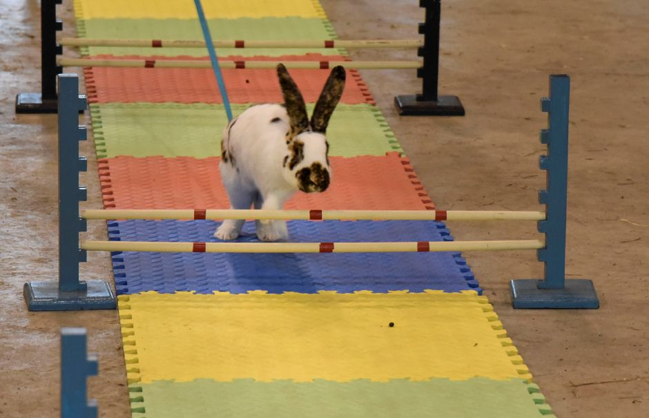 "A rabbit hops over some obstacles during a ""bunny hop"" exhibit at the Durham Fair on Friday, Sept. 28, 2018. 