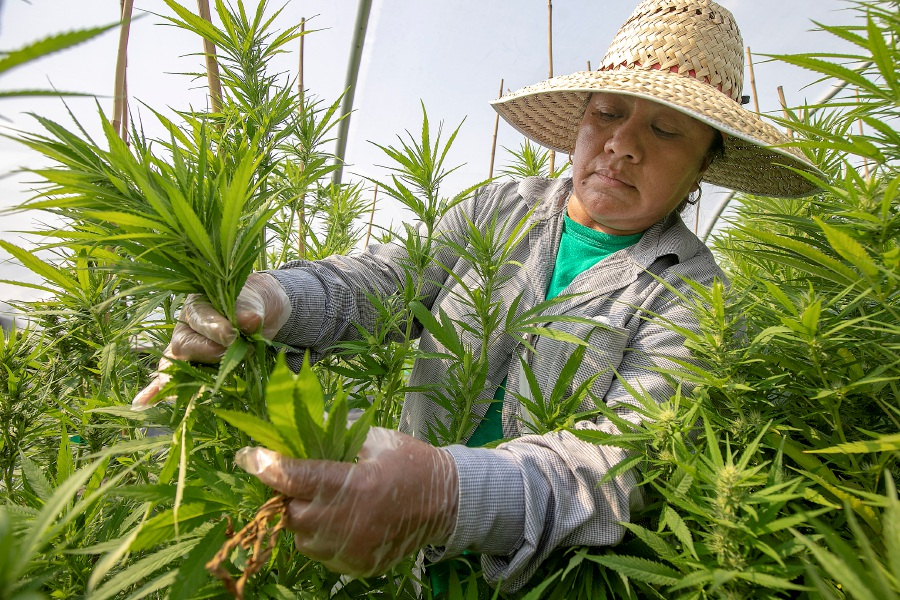 Worker Aurelia Romero hand trims hemp plants at Sunny Border Nurseries Inc. in Berlin last week. The business is about three weeks away from harvesting its first hemp crop. Sunny Border Nurseries Inc. is one of several hemp growers granted a license for the state's hemp pilot program. Dave Zajac, Record-Journal