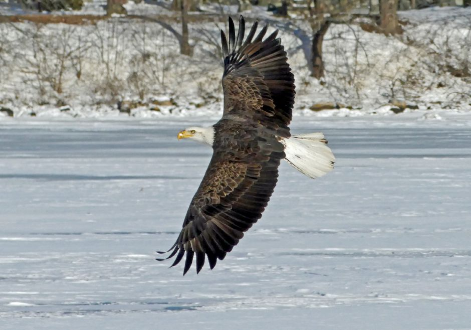 The Connecticut DEEP's Wildlife Division reports that, in 2019, the state broke bald eagle records for  of active territories, successful nests and number of chicks. | Harold Hanka, The Westerly Sun