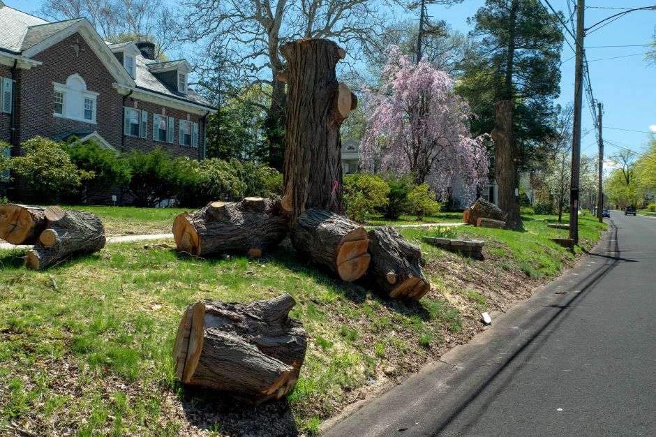 Numerous tree stumps now line Worthington Ridge, which residents say was known for its canopy. Power utility company Eversource said regular cullings are needed to prevent damage to power lines. Devin Leith-Yessia,Berlin Citizen