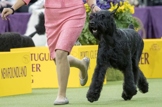 Handler Katie Bernardin leads Ty, a giant schnauzer in the working group competition during the 142nd Westminster Kennel Club Dog Show, Tuesday, Feb. 13, 2018, at Madison Square Garden in New York. Ty won best in working group. (AP Photo/Mary Altaffer)