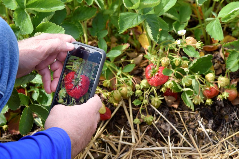 At left, Lyman Orchards spokesperson Tim Burt takes a photo of a large strawberry found in the strawberry fields on Tuesday. Strawberries cover almost seven acres of the orchards.