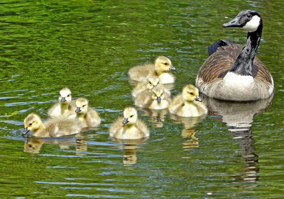 A family of Canada Geese glide amongst lily pads in a small pond in Mystic on Monday, May 28, 2018. Harold Hanka, The Westerly Sun