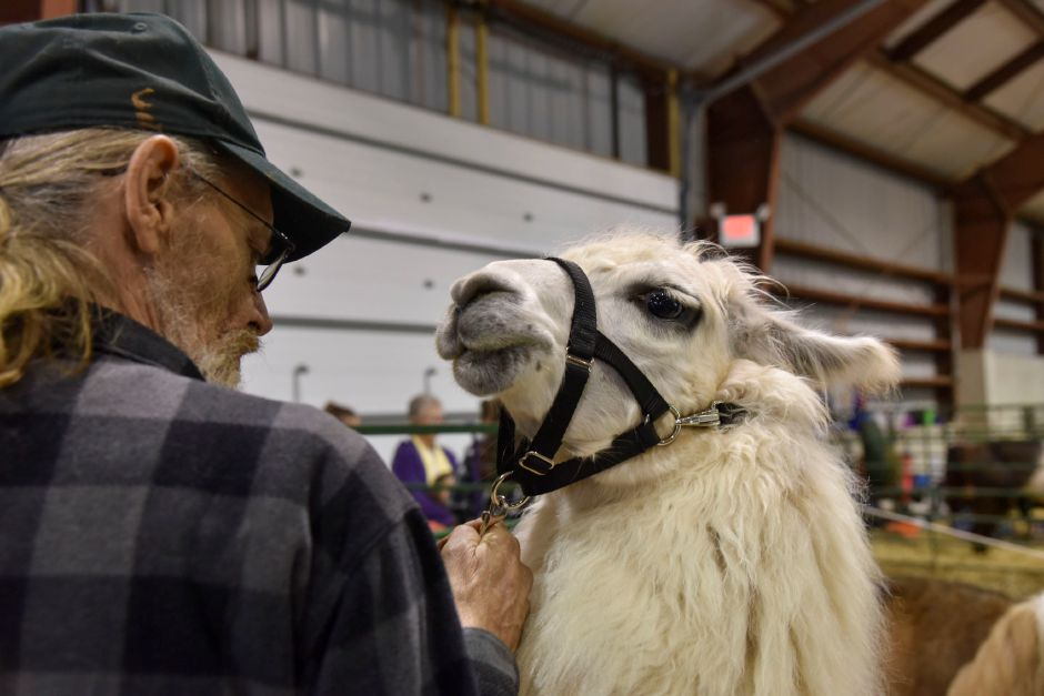 A llama waits to be shown at the Durham Fair on Friday, Sept. 28, 2018. | Bailey Wright, Record-Journal