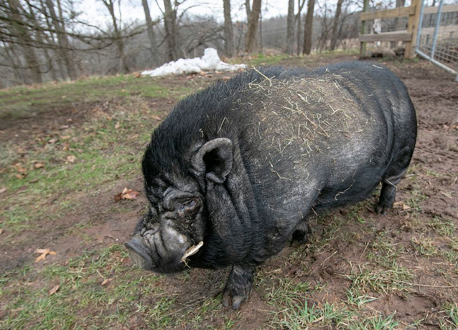 One of two pot-bellied pigs at Cheshire Hollow Farm on Peck Lane in Cheshire, Mon. Nov. 26, 2018. The 100-acre farm hosts a petting zoo and sells a variety of Christmas trees. Dave Zajac, Record-Journal