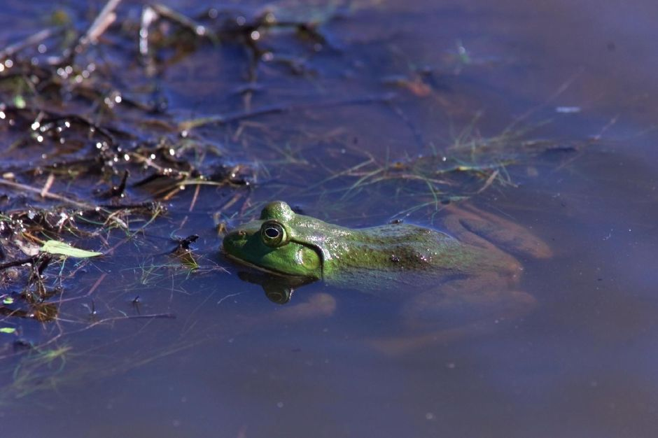 A bullfrog pokes its head above water in the Buntin family