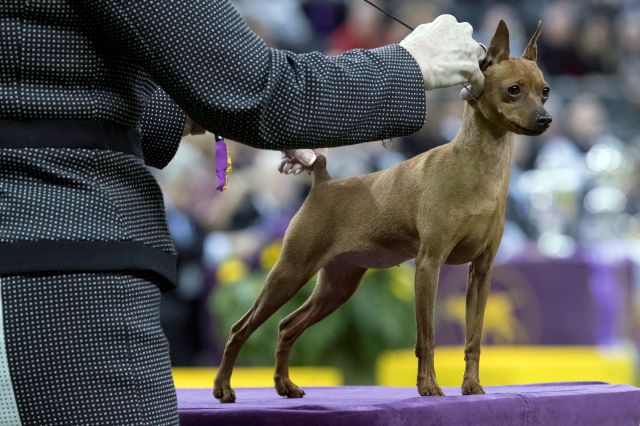 Porsche, a miniature pinscher, competes in the Toy group during the 142nd Westminster Kennel Club Dog Show, Monday, Feb. 12, 2018, at Madison Square Garden in New York. (AP Photo/Mary Altaffer)