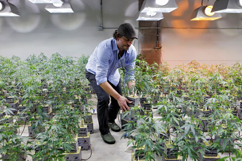 A Feb. 10, 2012 photo shows Matthew Huron, owner of two medical marijuana dispensaries and an edible marijuana company in Denver, examining a marijuana plant in his grow house. Medical marijuana is legal in 17 states, but the industry has a decidedly black-market aspect _ it