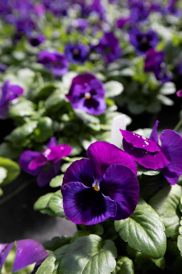 Pots of Majestic Giants II extra-large flowered pansies at Winterberry Gardens 2070 West St., Southington, Wed., Mar. 27, 2019. The business opens Monday April 1. Dave Zajac, Record-Journal
