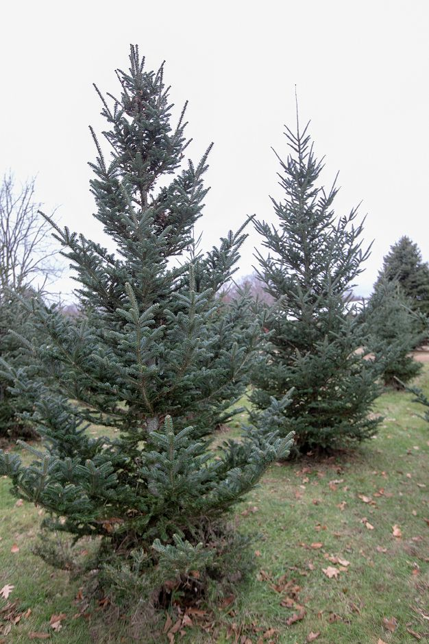 Cut-your-own Christmas trees available at Cheshire Hollow Farm on Peck Lane in Cheshire, Mon. Nov. 26, 2018. Dave Zajac, Record-Journal