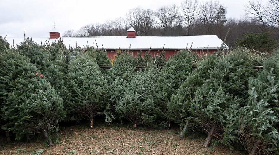 A variety of Christmas trees available at Cheshire Hollow Farm on Peck Lane in Cheshire, Mon. Nov. 26, 2018. Dave Zajac, Record-Journal