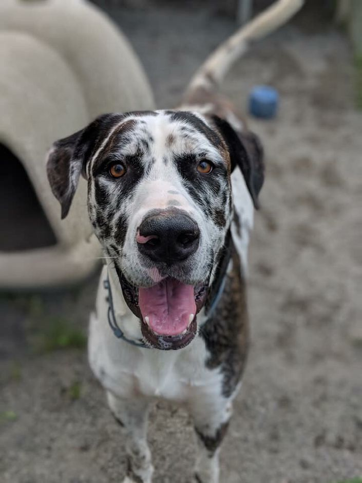 Rhemus is a Great Dane mix up for adoption at the Meriden Humane Society. Photo courtesy Meriden Humane Society