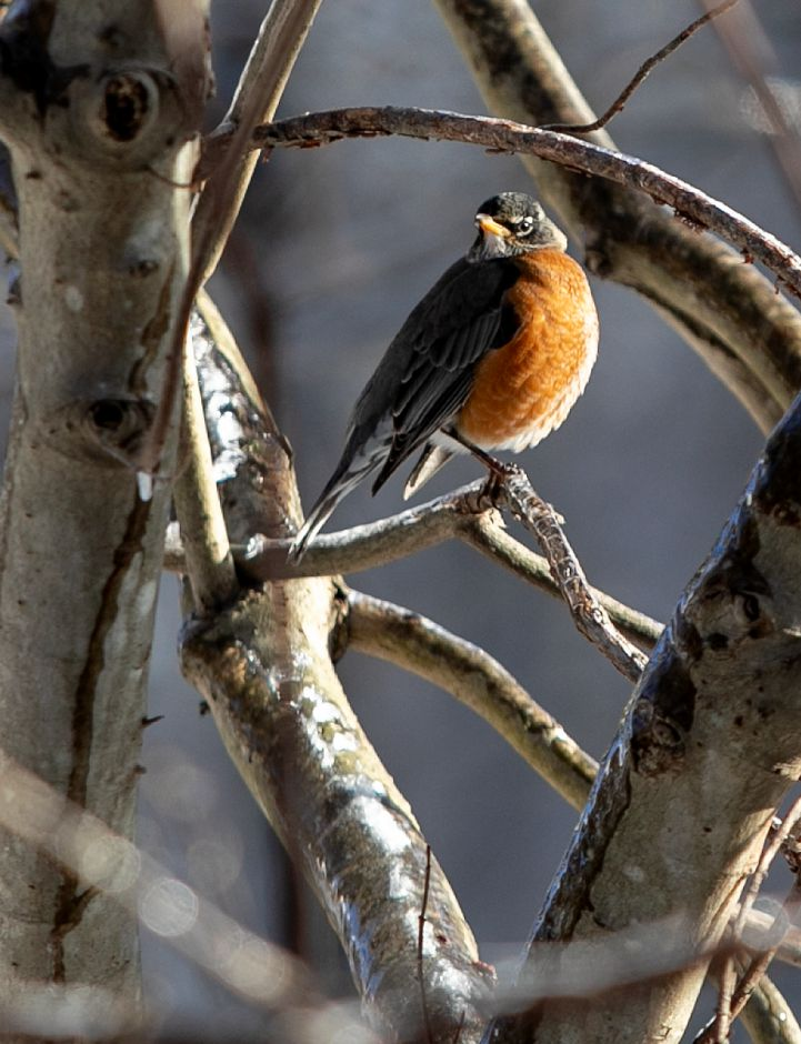 One of several robins perched on icy brush at Lock 12 Historical Park in Cheshire on Tuesday.