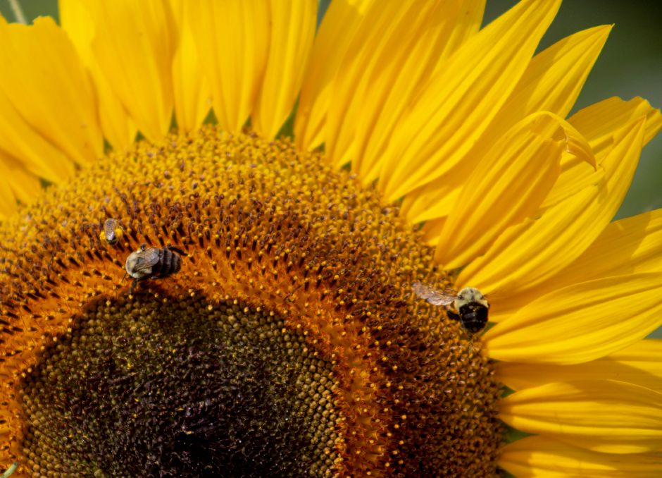 Bees search for pollen among the sunflowers, but Lyman Orchards uses sterile sunflowers to cut down on the number of bees in the sunflower maze, July 30, 2018. | Richie Rathsack, Record-Journal