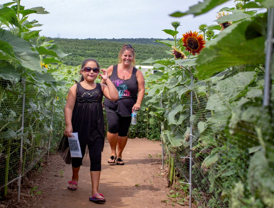 Angelina Brown, 7, and Lisa Brown of Branford try to navigate the sunflower maze.