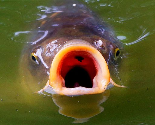 Hanover Pond and Mirror Lake are two area locations known to harbor 'lunker' carp. Michael Probst, Associated Press