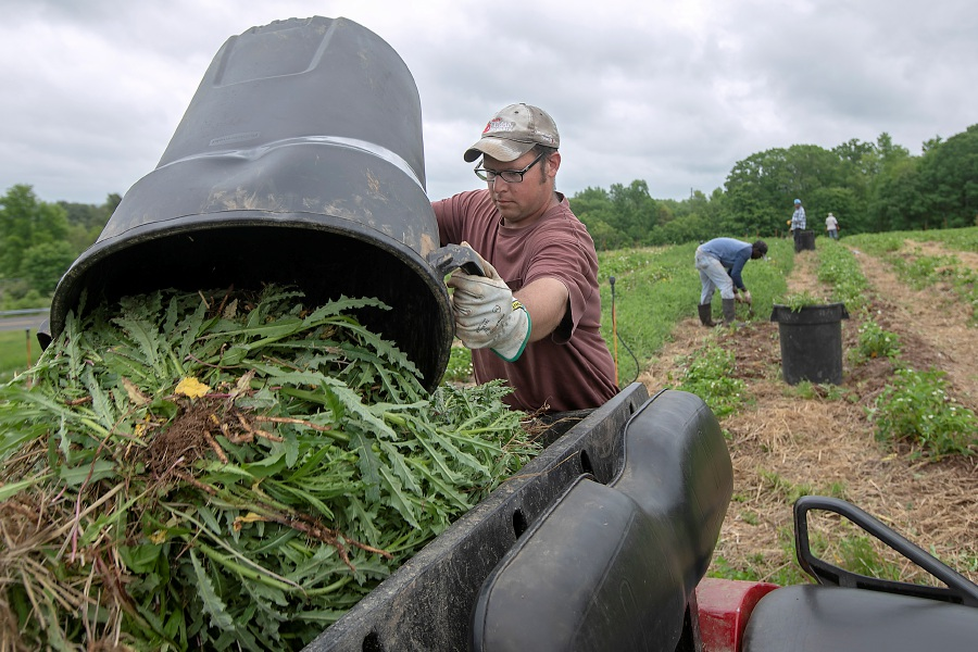 Orchard worker Jesse Atwell empties a pail of weeds pulled from a strawberry field at Lyman Orchards in Middlefield, Thurs., May 28, 2020. Lyman Orchards is gearing up to open the fields for pick-your-own in early June. The exact date will be posted on its website and social media. Dave Zajac, Record-Journal